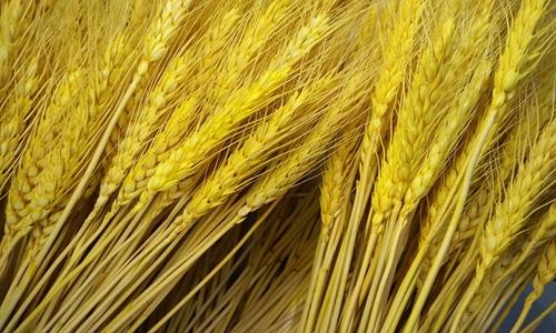 小麦糊粉层生产线落地 分离技术突破加工难题