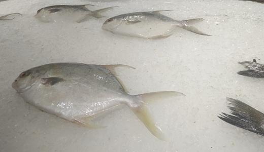 罗非鱼发展受限 还需深加工开拓更大市场